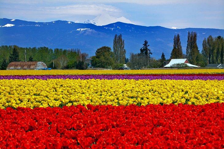 Skagit Valley farm tulip festival in Mount Vernon, Bellingham, Washington